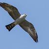 Mississippi Kite, by guide Tom Johnson