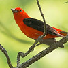 A brilliant male Scarlet Tanager, by guide Doug Gochfeld