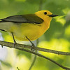 Prothonotary Warbler, by guide Doug Gochfeld