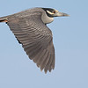 A fine profile of a Yellow-crowned Night-Heron, by guide Tom Johnson