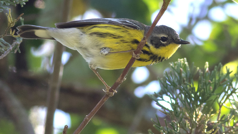 A migrant Magnolia Warbler, by guide Tom Johnson