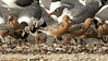 Red Knots join Ruddy Turnstones and Laughing Gulls to feed. Photo by guide Tom Johnson.