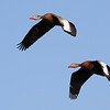Black-bellied Whistling-Ducks, by guide Chris Benesh.