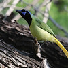 A visual delight: Green Jay, by guide Chris Benesh.