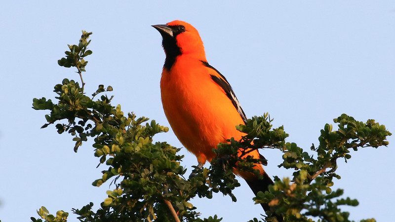 Altamira Oriole, by guide Chris Benesh.