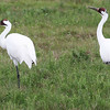 A graceful pair of Whooping Cranes at Aransas, by guide Chris Benesh.