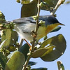Tropical Parula is another target specialty. Photo by guide Chris Benesh.