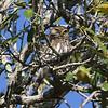 Ferruginous Pygmy-Owl, by guide Chris Benesh.