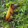 Red Howler Monkey by participant Randy Siebert
