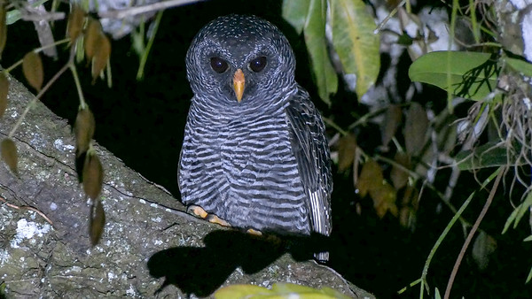 Black-banded Owl is a nighbird possibility. Photo by participant Randy Siebert.