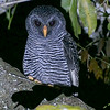 Black-banded Owl by participant Randy Siebert