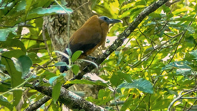 Capuchinbird is among the oddest of birds. Photo by participant Randy Siebert.