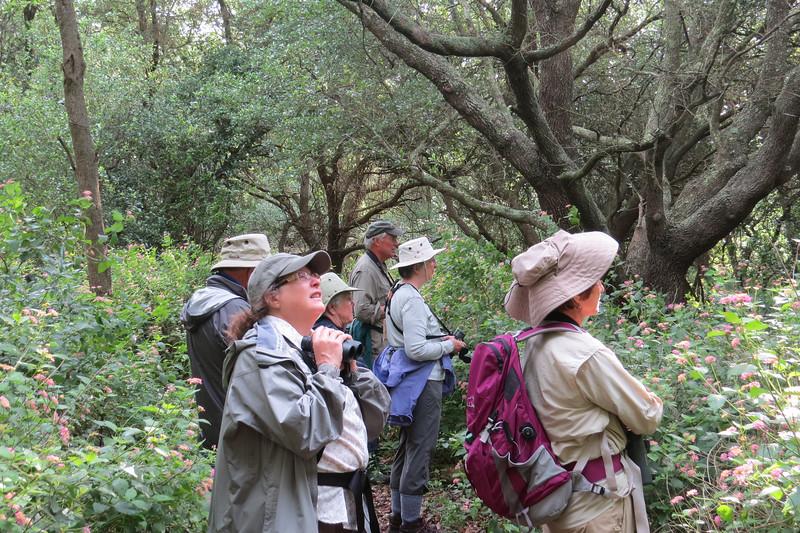 Birding coastal oak mottes for migrants by participant Neil McDonal