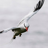 Red-billed Tropicbird on Little Tobago, by participant Tony Quezon