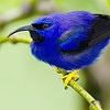 A glowing male Purple Honeycreeper, by participant Tony Quezon