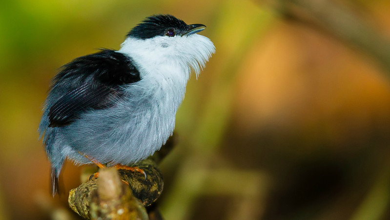 "The ""beard"" of a White-bearded Manakin, by participant Tony Quezon"