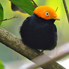 A male Golden-headed Manakin aglow, by participant Carol Gee