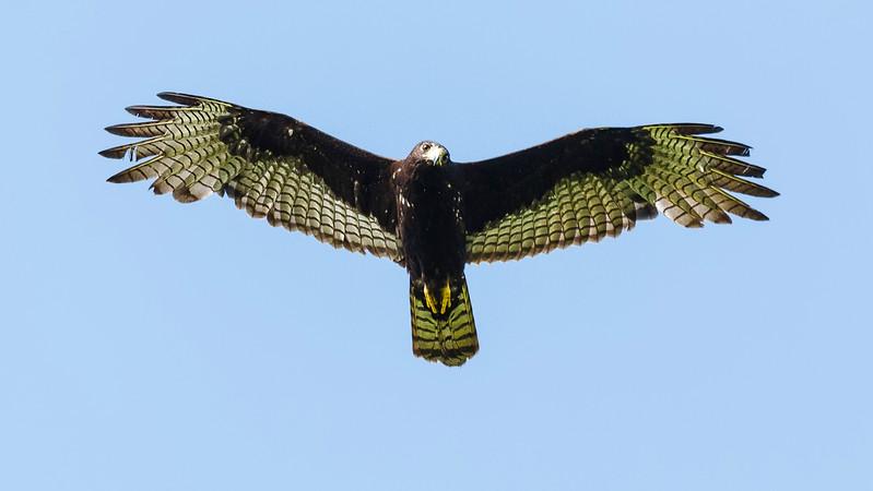 The Turkey-Vulture-mimic Zone-tailed Hawk, by participant Tony Quezon