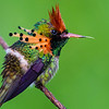 The incomparable Tufted Coquette at Asa Wright, by participant Tony Quezon