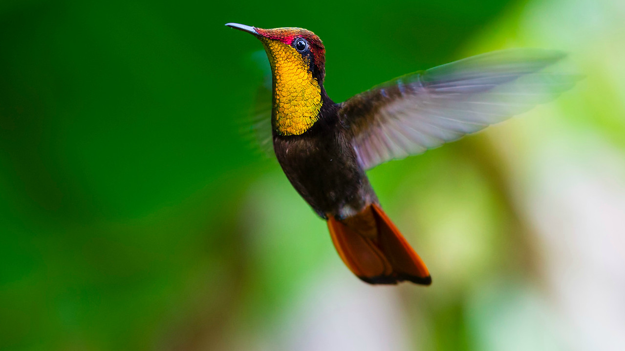 A fantastic male Ruby-topaz Hummingbird at Speyside, by participant Tony Quezon