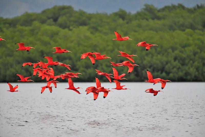 Scarlet Ibis by participant Doug Clarke