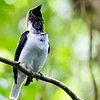 A male Bearded Bellbird giving its anvil call, by participant Tony Quezon