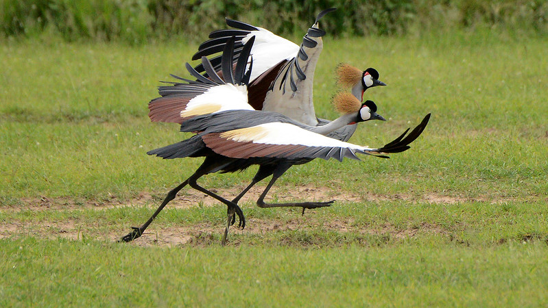 Gray Crowned-Cranes in a beautiful image by participant Rachel Hopper