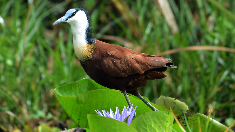 African Jacana, the lily-trotter, by participant Rachel Hopper
