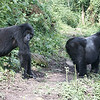 Mountain Gorillas, by guide Phil Gregory