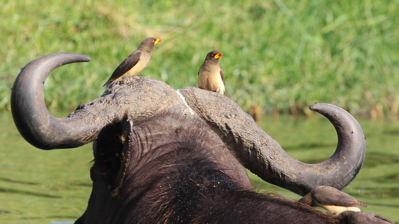 Yellow-billed Oxpeckers on African Buffalo, by guide Jesse Fagan