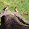 Yellow-billed Oxpeckers on African Buffalo by guide Jesse Fagan