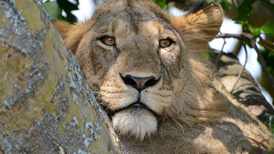 Lion at rest in a tree, by participant Rachel Hopper