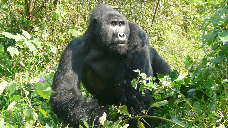Mountain Gorilla in Bwindi Impenetrable Forest by participant Barbara Williams