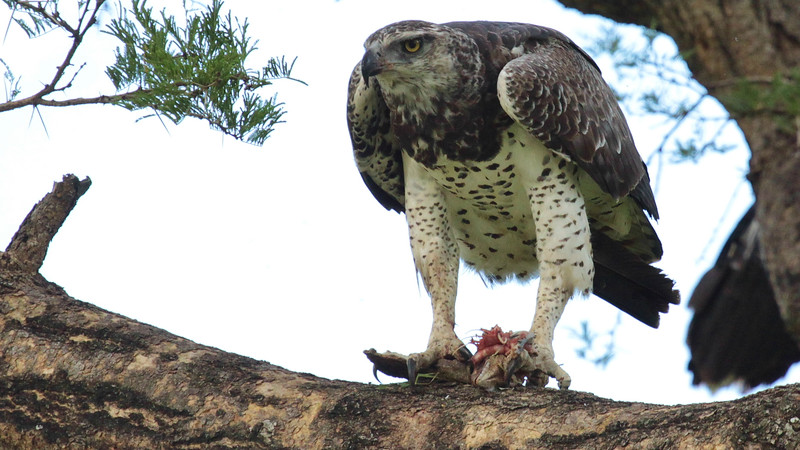 Martial Eagle with prey by guide Jesse Fagan
