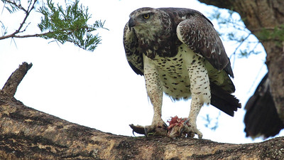 Martial Eagle with prey, by guide Jesse Fagan