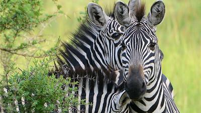 Burchell's Zebras, by participant Rachel Hopper