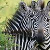 Burchell's Zebras by participant Rachel Hopper