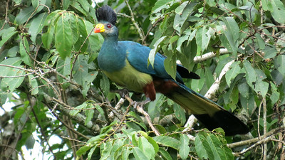 Great Blue Turaco at Primate Lodge (Chimp Camp) in Kibale National Park