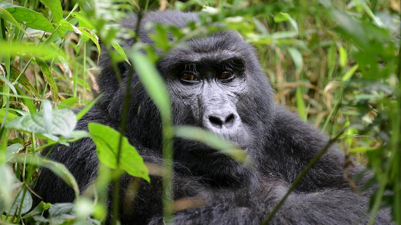 Mountain Gorilla by participant Rachel Hopper