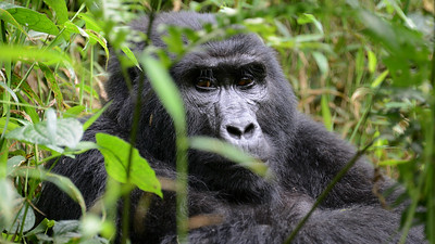 Mountain Gorilla, by participant Rachel Hopper