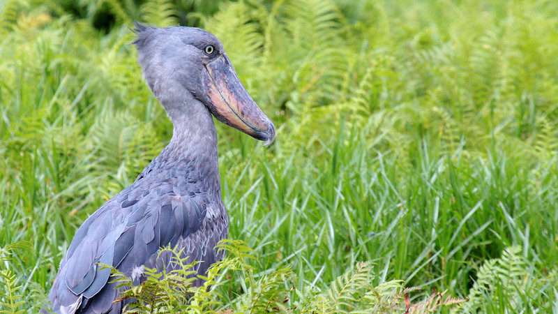 The immense and one-of-a-kind Shoebill by guide Jesse Fagan