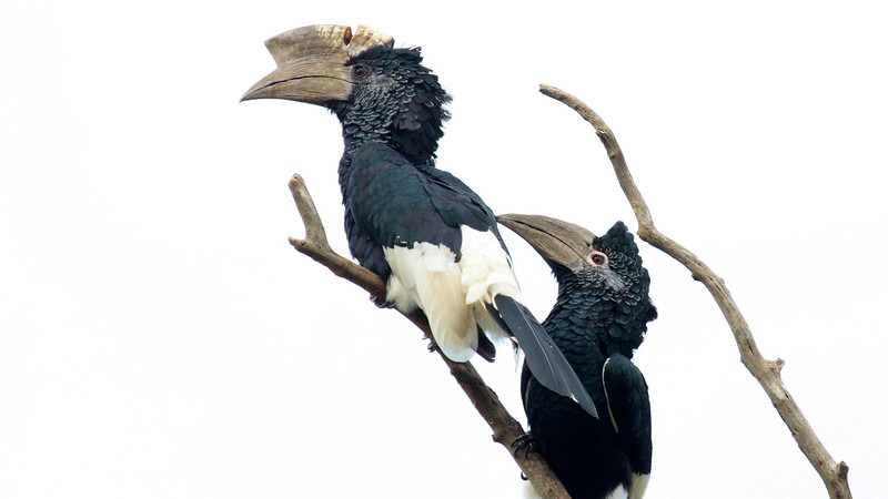 Black-and-white Casqued Hornbills by guide Jesse Fagan