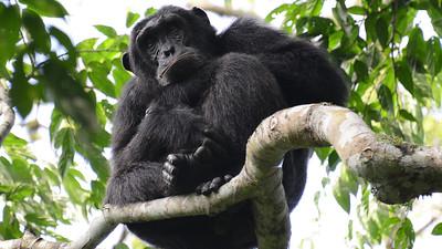 Chimpanzee, by participant Rachel Hopper