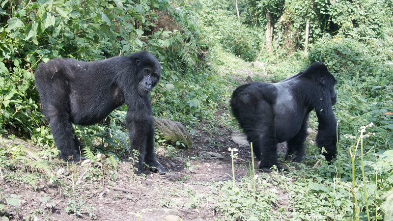 Mountain Gorillas by guide Phil Gregory