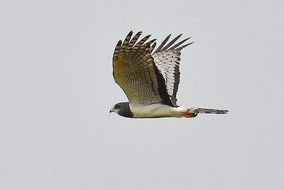 Long-winged Harrier is likely along our route. Photo by participant Brian Stech.