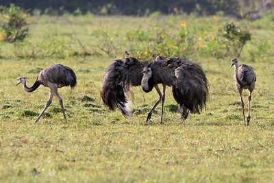 A male Greater Rhea  struts his stuff between females. Photo by guide Marcelo Padua.