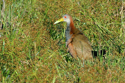 Giant Wood-Rail is a cool terrestrial bird we'll see. Photo by guide Dave Stejskal.