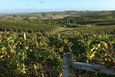 The Garzon vineyard, by guide Marcelo Padua.