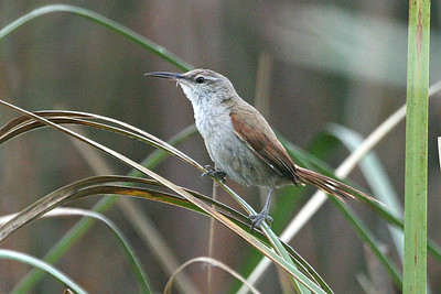 Straight-billed Reedhaunter, by guide Dave Stejskal.