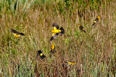 Saffron-cowled Blackbirds, a blur of color in marshes. Photo by guide Bret Whitney.